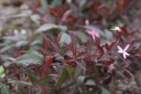 Gillenia trifoliata 'Pink profusion