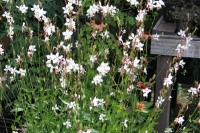 Gaura lindh. 'Whirling Butterfly'