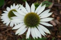Echinacae 'Virgin'
