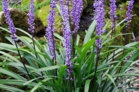 Liriope muscari'Moneymaker'
