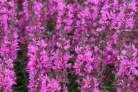 Lythrum salicaria 'Lady Sackville'