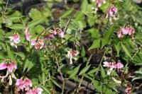 Lathyrus vernus 'Rosea'