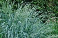 Panicum amarum 'Dewey BLue'
