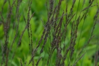 Molinia caerulea 'Moorhexe'