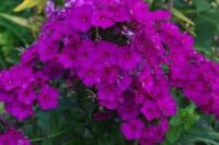 Phlox pan. 'The King'