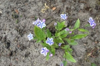 Omphalodes cap. 'Starry Eyes'