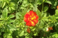 Potentilla 'William Rollinson'