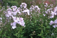Phlox pan. ' Utopia'