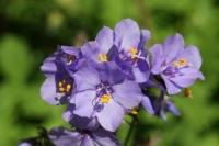 Polemonium yezoense ' Purple Rain'