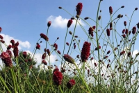 Sanguisorba off. 'Bommel'