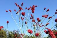 Sanguisorba 'Tall Raspberry'