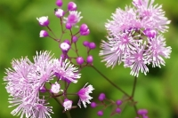 Thalictrum 'Perfume Star'