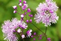 Thalictrum 'Perfume Star'