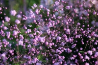 Thalictrum del. ' Splendide '