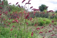 Sanguisorba 'Long Tall Red'