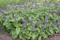 Salvia verticillata 'Hannay's Blue'