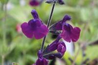 Salvia micr 'Nachtvlinder'