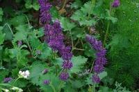 Salvia verticilata 'Purple Rain'