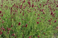 Sanguisorba 'Red Thunder'