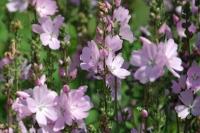 Sidalcea hybr.'Elsie Heugh'
